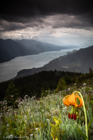 Tiger Lily Over Kootenay Lake