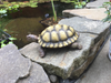Image of Gilbert the Box Turtle Statue