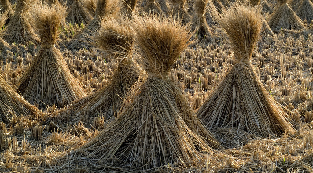 Dried stalks straw rice field farm