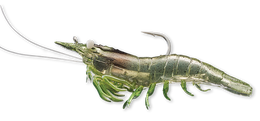 918 Grass Shrimp