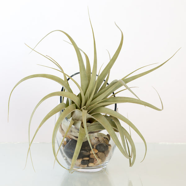Airplant in glass