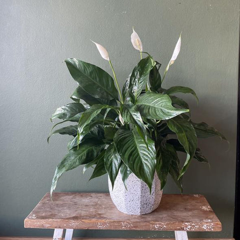 living-gifts-peace-lily