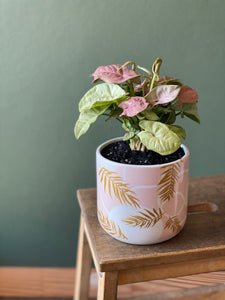 Indoor-Plant-Pink-Syngonium-Pot