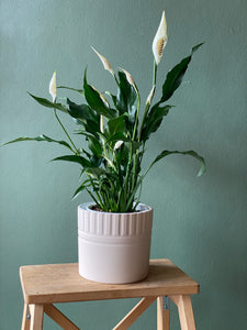 Peace Lily in Dusty Light Pink Ceramic Pot