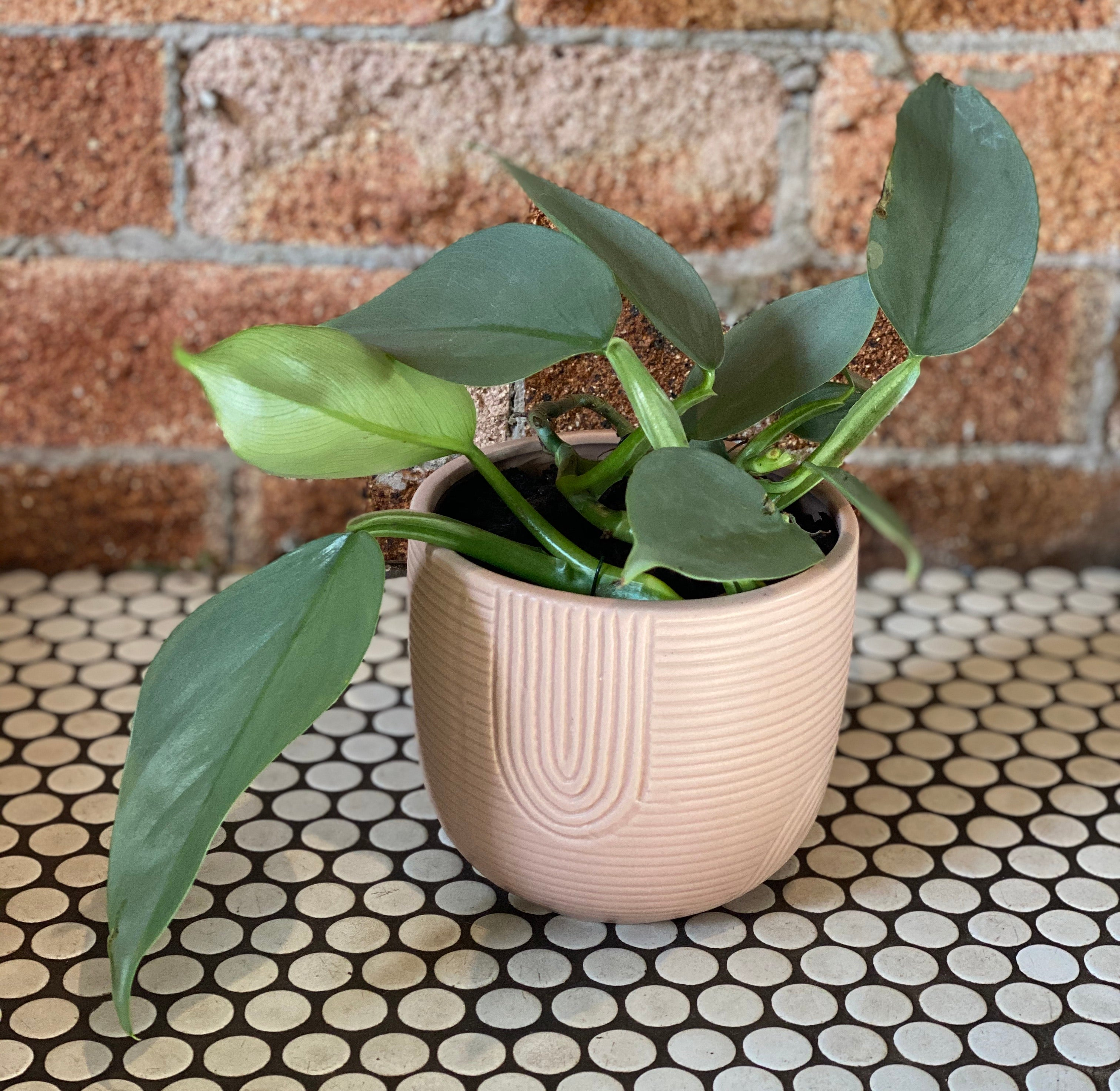 Philodendron in Rainbow Small Etch Pot