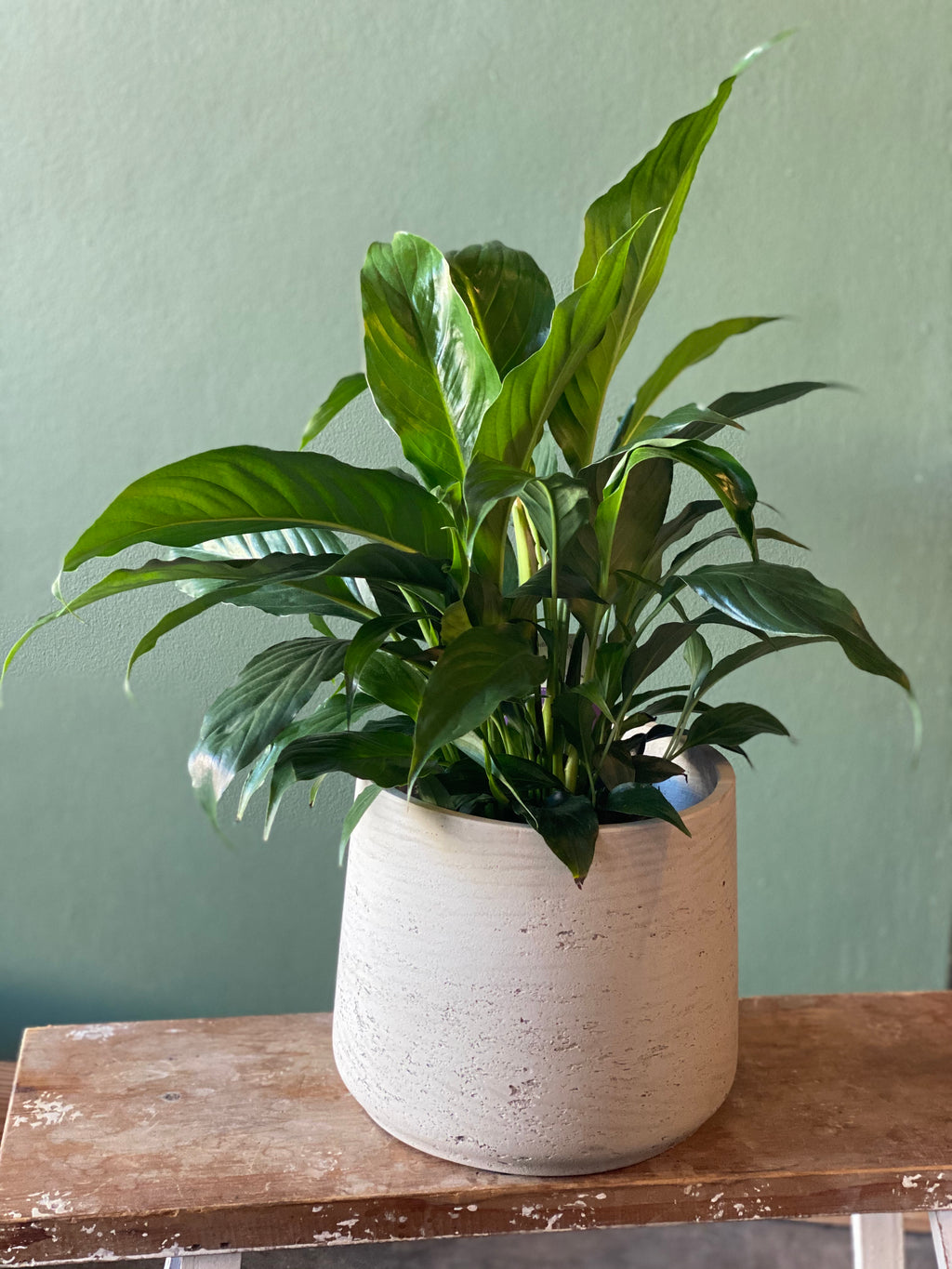 Large Peace Lily in Concrete Pot