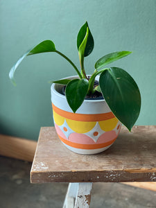 Philodendron in Ceramic Planter
