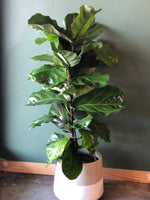 Potted XL Fiddle Leaf Fig