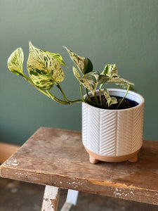 Marble queen in footed white planter