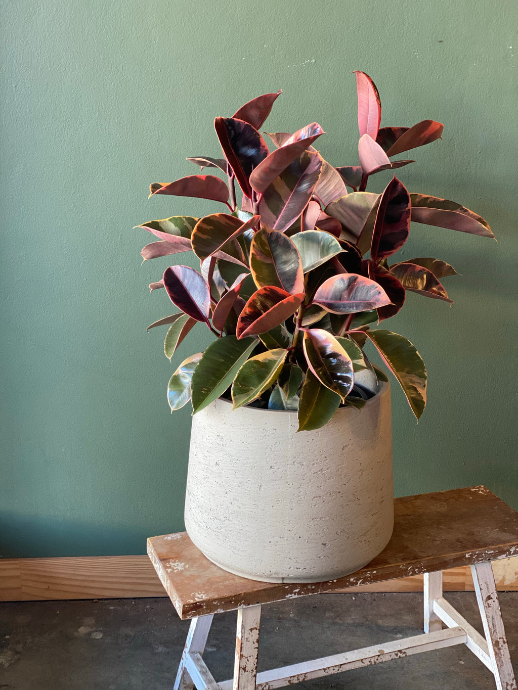 Large Pink Rubber Plant in Large Concrete Pot