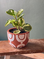 Peperomia Potted in Terracotta planter
