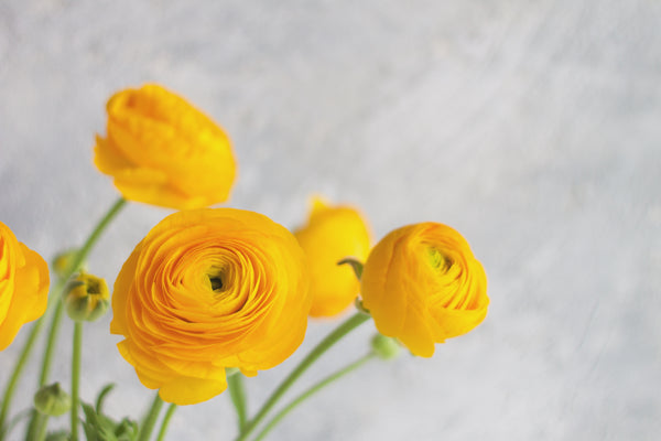 Ranunculus - Yellow - Farm Direct