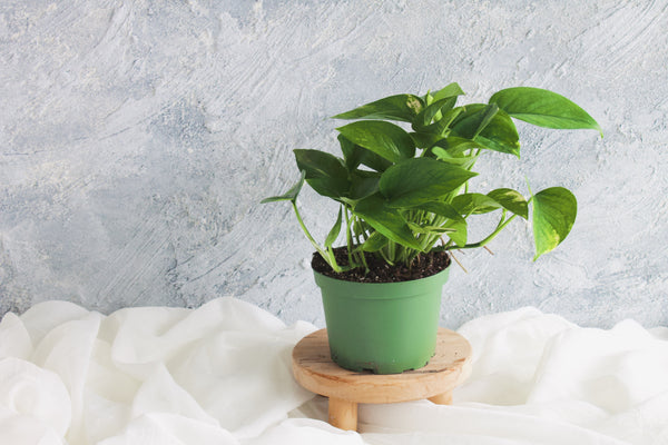 Pothos Golden - Plant - Farm Direct