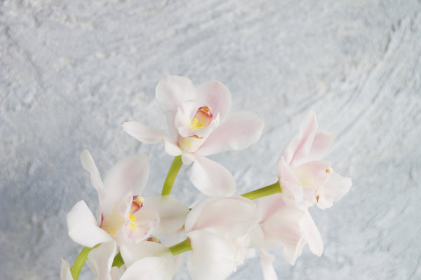 Cymbidium Lovely Sandra - White - Farm Direct