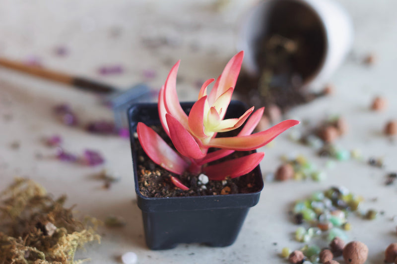 Crassula capitella 'Campfire' - Succulent - Farm Direct
