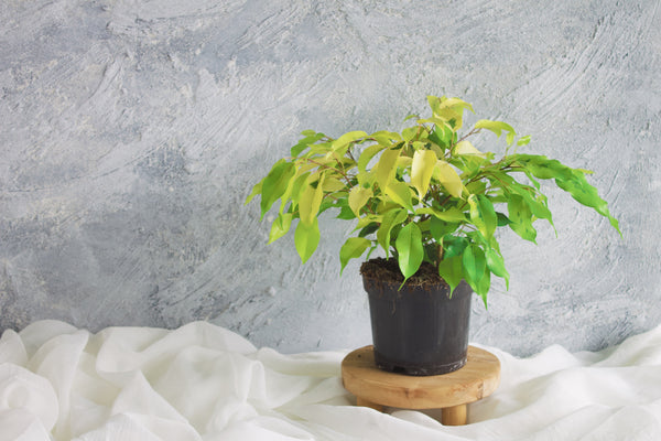 Ficus Benjamine - Plant - Farm Direct