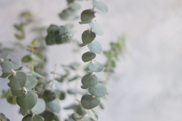 Eucalyptus Baby Blue - Farm Direct