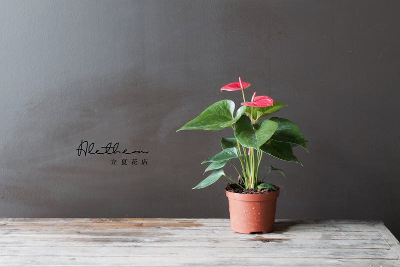 Anthurium Pot - Plant - Farm Direct