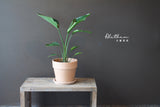 Bird of Paradise - Plant - Farm Direct