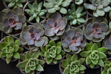 Nurm - Succulent - Farm Direct