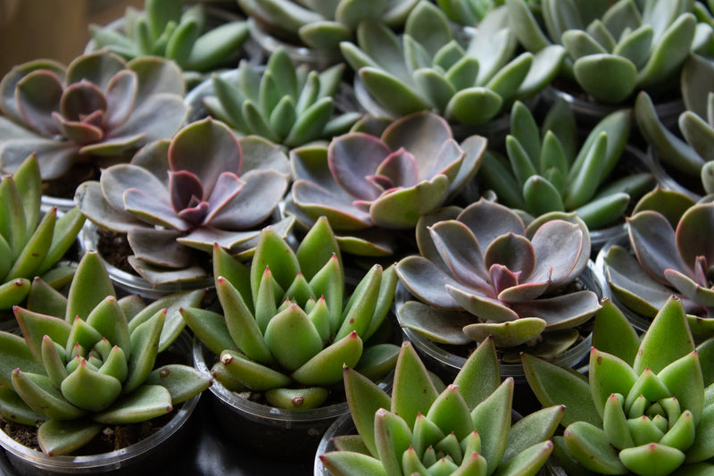 France - Succulent - Farm Direct