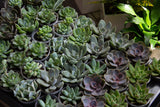 Topsy - Succulent - Farm Direct