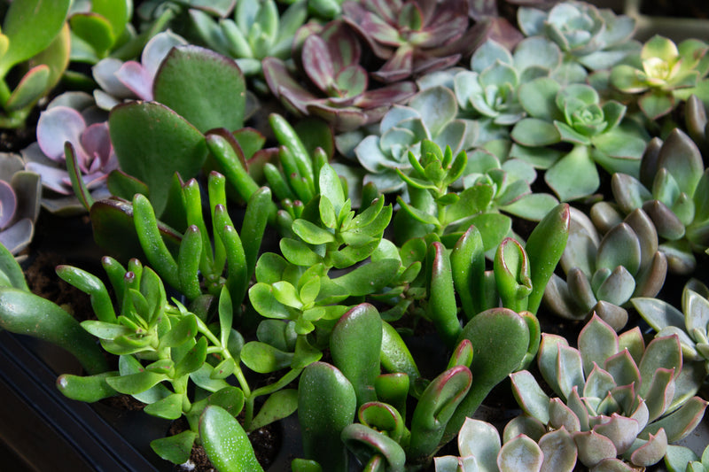 Jade - Succulent - Farm Direct