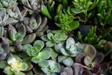 Glauca - Succulent - Farm Direct