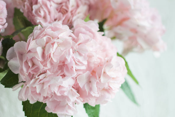 Hydrangea - Blush - Farm Direct