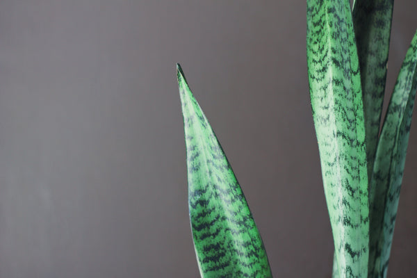 Sansevieria - Snake Plant with Pot