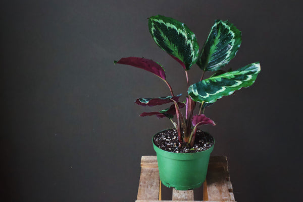 Calathea - Plant - Farm Direct