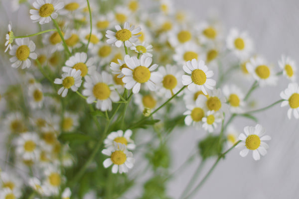 Matricaria - White - Farm Direct