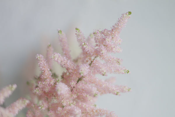 Astilbe - Pink - Farm Direct