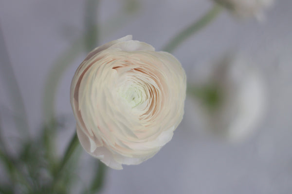 Ranunculus - Quick Sand - Farm Direct