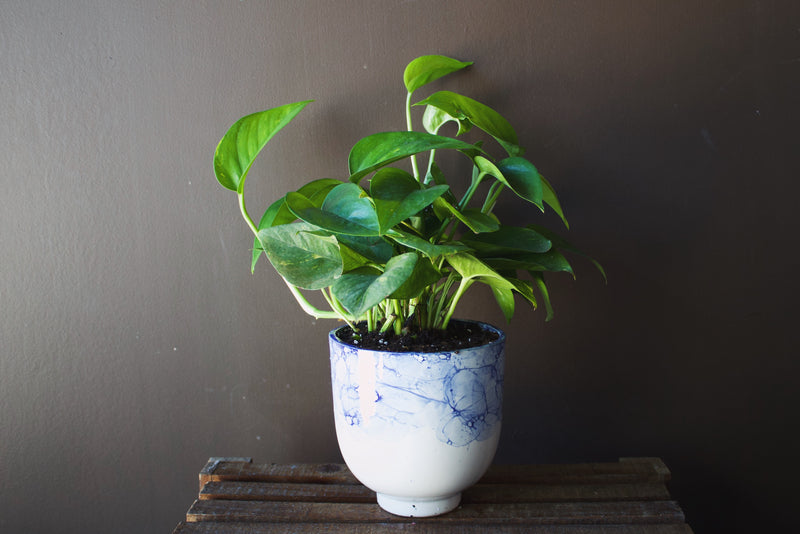 POTHOS in Ellory Pot