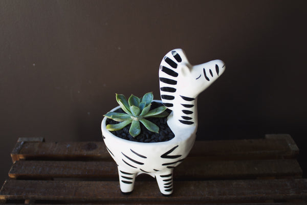 Desert Rose in Zebra Planter