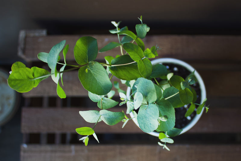 Eucalyptus Pot - Plant - Farm Direct