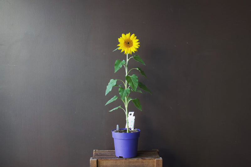 Sunflower Pot - Yellow - Farm Direct