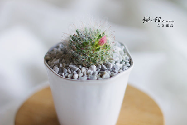 Cactus in Blanco Pot