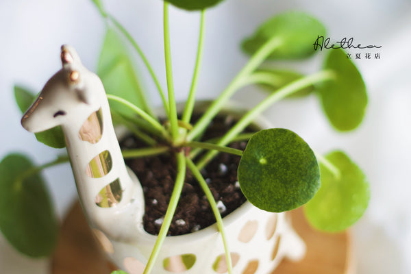 Centella Asiatica in Giraffe Planter
