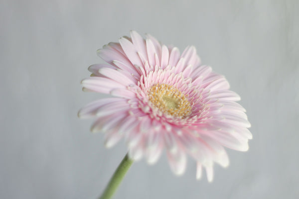 Gerbera - Pink - Farm Direct