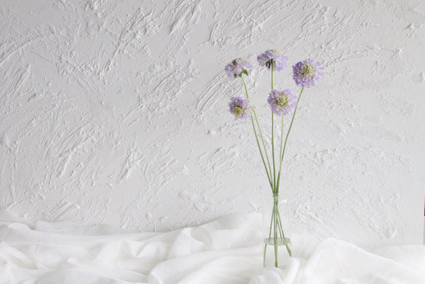 Scabiosa - Lavender - Farm Direct