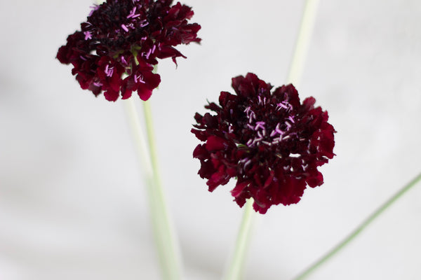 Scabiosa - Burgundy - Farm Direct