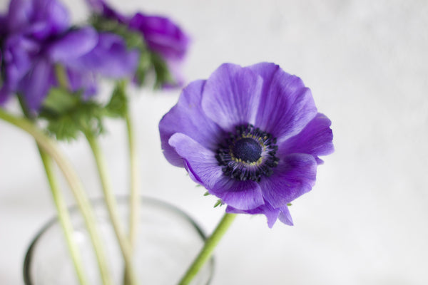 Anemone - Purple - Farm Direct