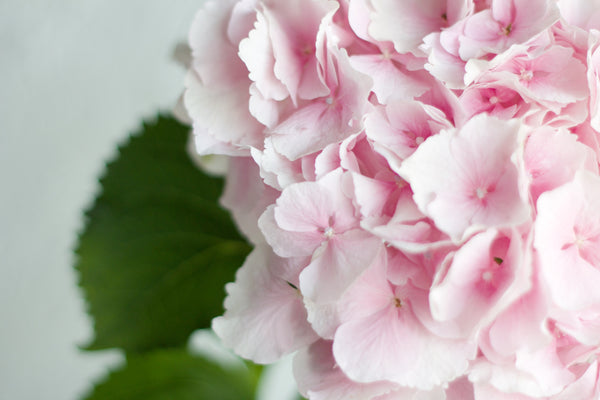 Dutch Hydrangea - Blush - Farm Direct