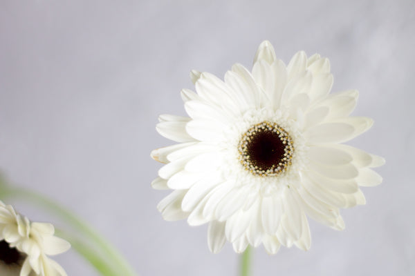 Gerbera - Cream - Farm Direct