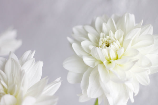 Dahlia - White - Farm Direct