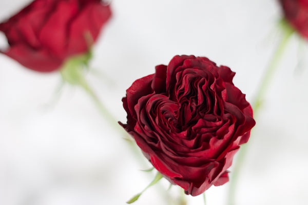 Garden Rose - Mayra Red - Farm Direct