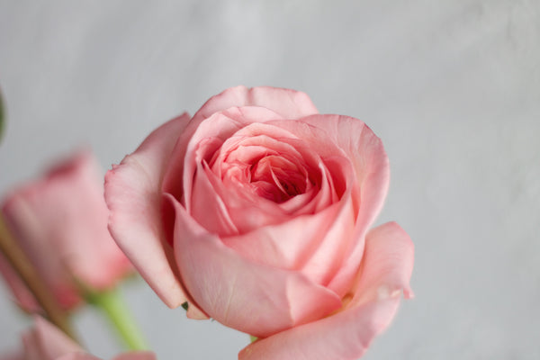 Garden Rose - Mid Pink - Farm Direct
