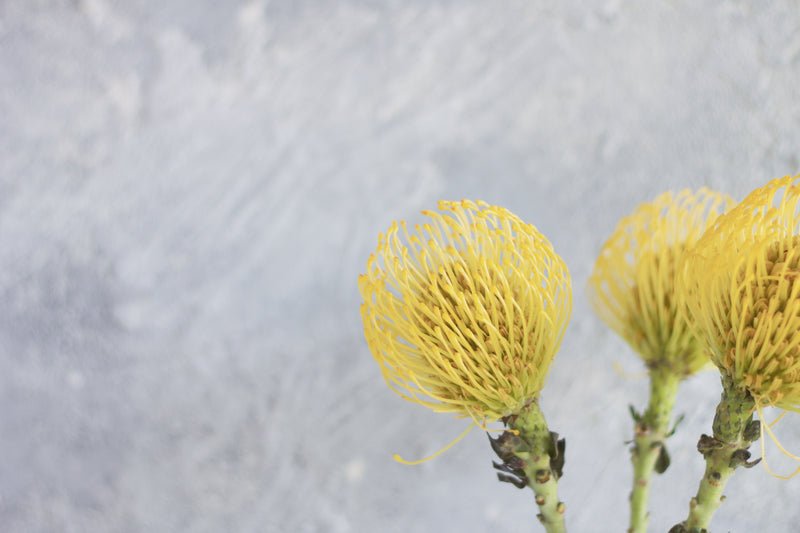 Pin Cushion Protea - Yellow - Farm Direct